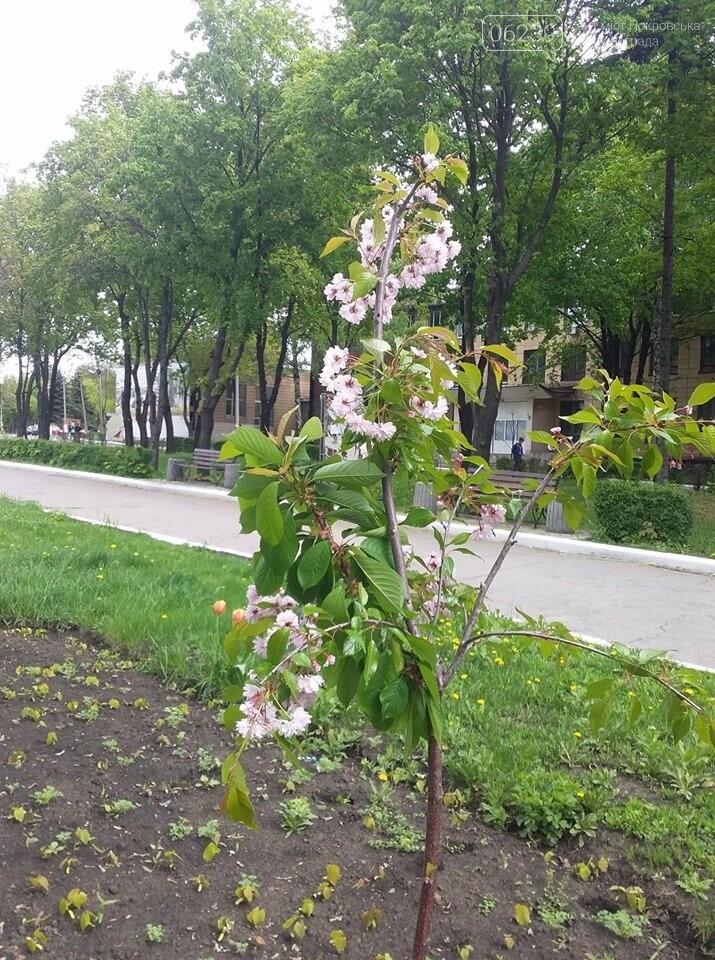В Покровске началось цветение сакур, фото-1