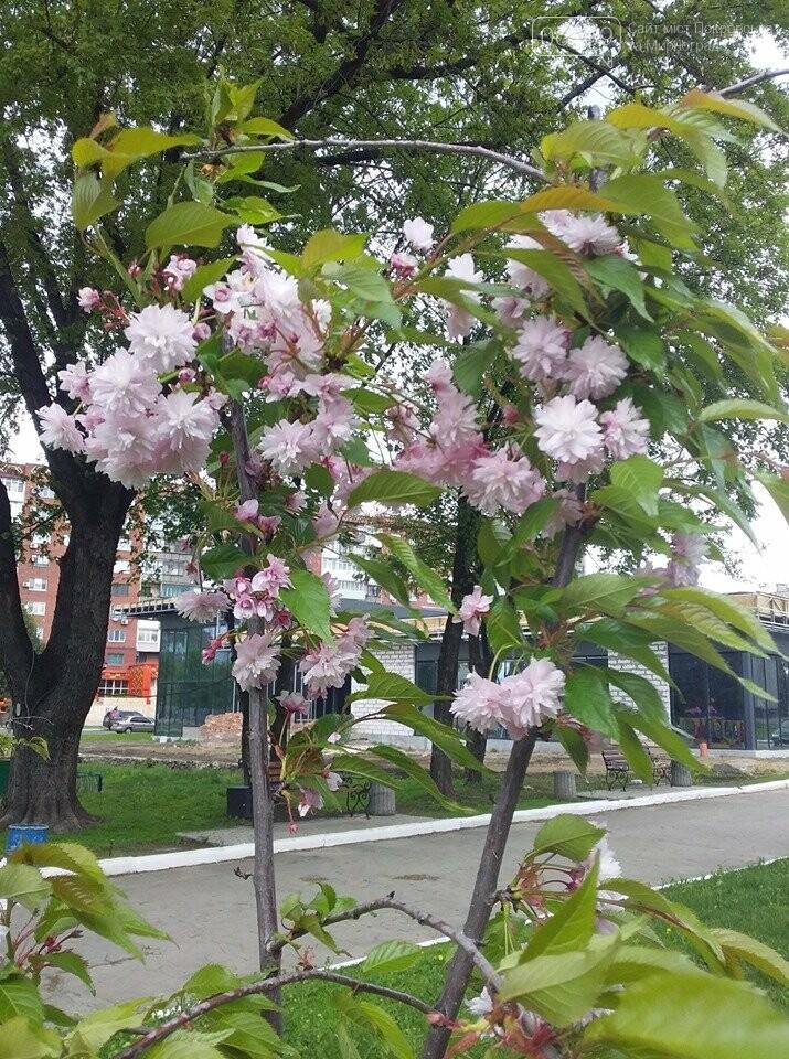 В Покровске началось цветение сакур, фото-3