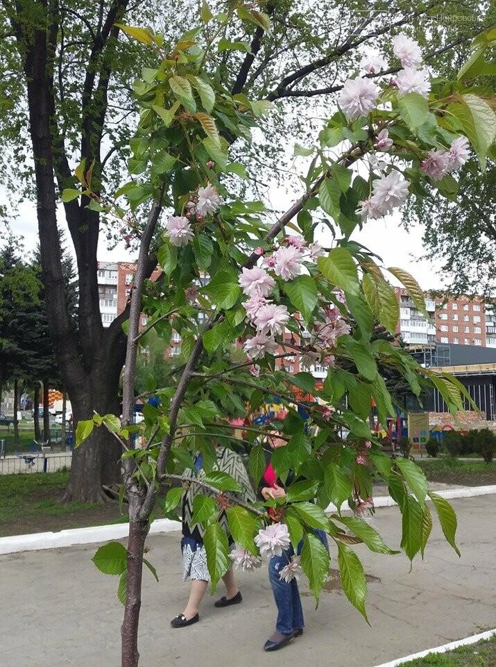 В Покровске началось цветение сакур, фото-4