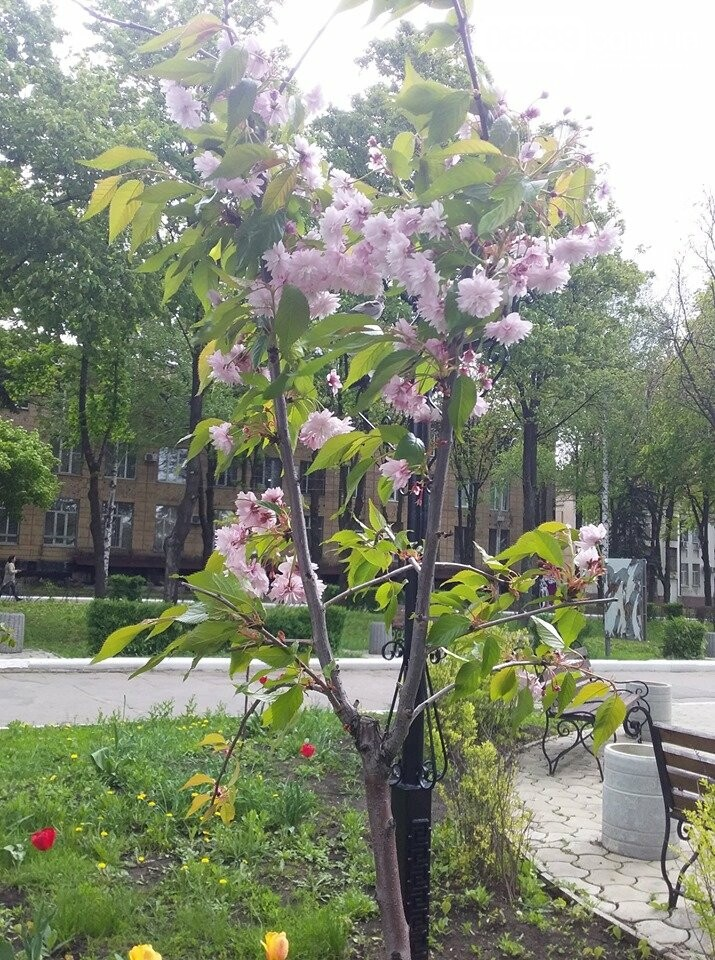 В Покровске началось цветение сакур, фото-2