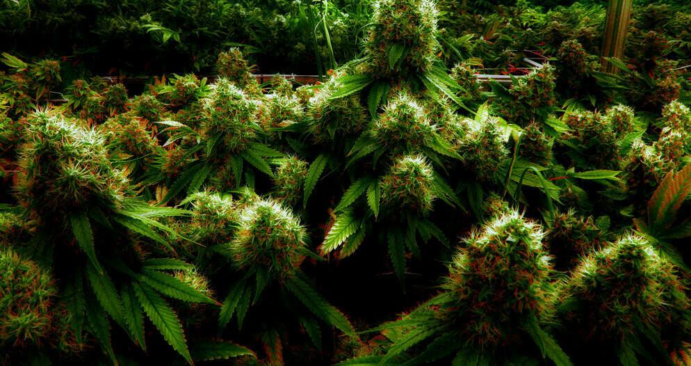 Освещение для автоцветущей конопли марихуана стишки